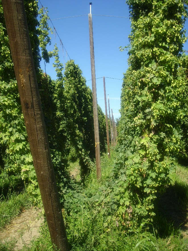 organic_hop_vines-small.jpg